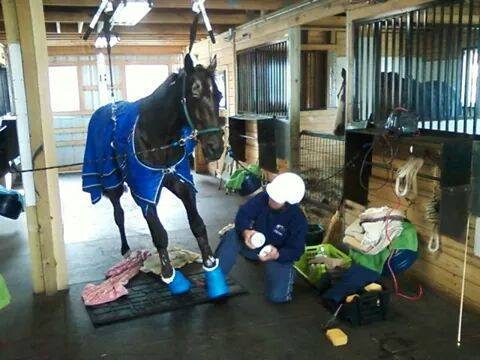 """In the world of horses, the saying """"no hoof, no horse"""" rings true, as one horse dangles from a sling hooked to the rafters of the barn. The stallion is unable to stand."""