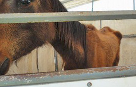 Aged horses were euthanized prior to the seizure; the defense says they were not a part of the criminal case.