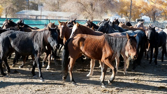 Killing Wild Horses for Population Control: BLM