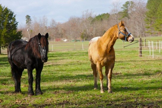 Two surviving horses that made it out of Anne Goland's Peaceable Farm alive.