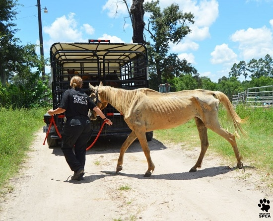 Authorities: A Third of Calico Dairy Horses Emaciated