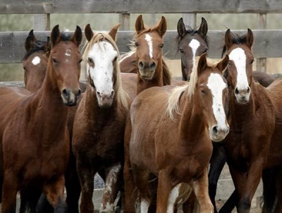 Navajo Nation Agrees to End Horse Roundups for Slaughter