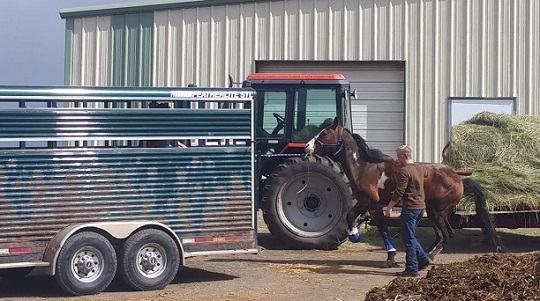 Stallion with three legs left without vet care
