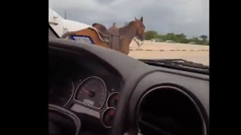 Acowgirl bodly saves a horse running down Texas highway - all caught on video.