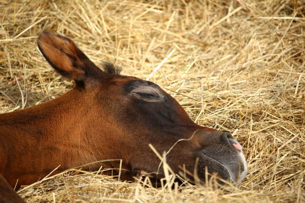 Find out why Rhodococcus equi may be more prevalent this year and how to protect your foals from pneumonia.