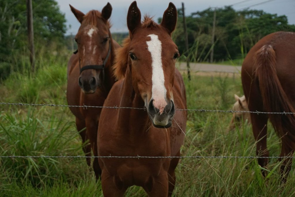 """Officials from the Texas Animal Health Commission (TAHC) state seven of the EIA positive """"racing Quarter Horses"""" and another horse on-site tested positive for asecondary infectious disease called equine piroplasmosis (EP)."""